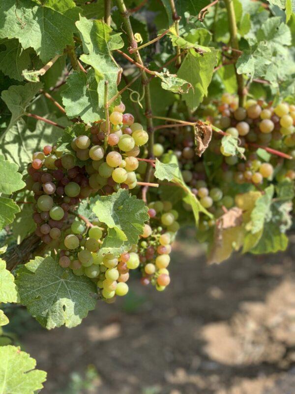 Siegerrebe Grapes 2