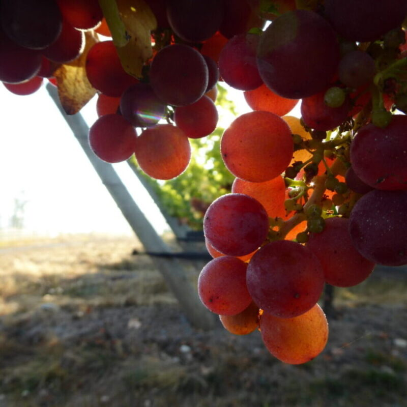Siegerrebe Grapes